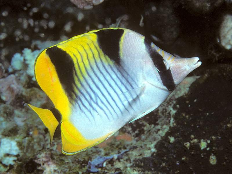 What freshwater aquarium fish is yellow with black stripes for Yellow saltwater fish